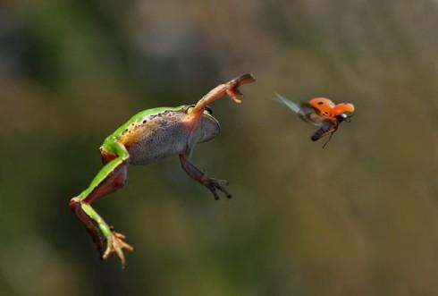Ladybug-Escaping-a-Frog-634x429